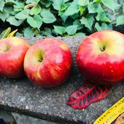 【水果達人】美國巨無霸富士蜜蘋果 12顆 1箱