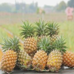東森農場 產地直送 嘉義神農 外銷金鑽17鳳梨